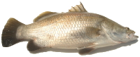 Australian grown barramundi